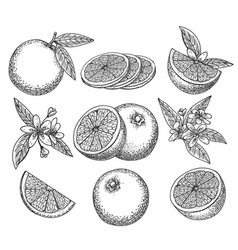 hand drawn orange set vector image