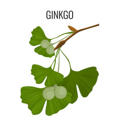 ginkgo biloba pod with green leaves isolated on vector image