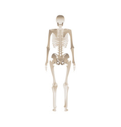 Back human skeleton vector