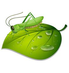 Grasshopper on green leaf on white background vector
