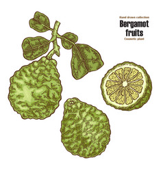 bergamot fruit and leaves hand drawn cosmetic vector image