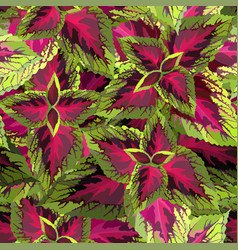 The burgundy with yellow coleus on white vector