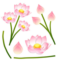 nelumbo nucifera - indian lotus sacred lotus vector image