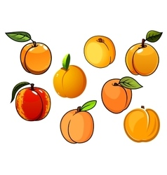 Isolated orange sweet apricots fruits vector