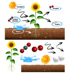 diagram showing how plant grows vector image