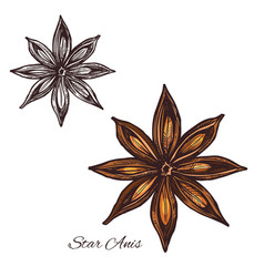 Star anise spice sketch of badian fruit and seed vector
