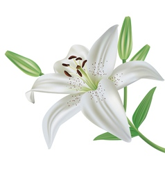 Lily flower isolated on white background vector image vector image