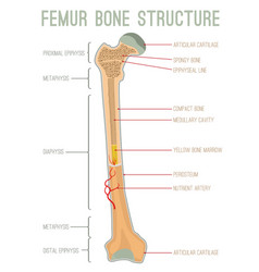 Femur bone structure vector