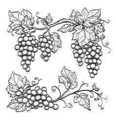 grape branches vector image
