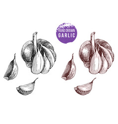 hand drawn garlic vector image