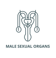 male sexual organs line icon linear vector image