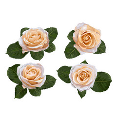 Set of watercolor tea roses isolated on white vector