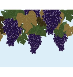 Red Grapes clusters vector image