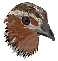 Common quail vector