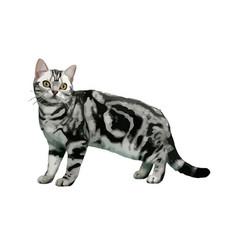 American shorthair cat breed vector