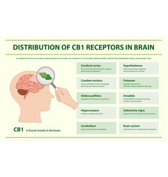 Distribution cb1 receptors in brain infographic vector