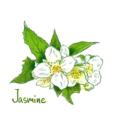 flowers a jasmine sketch with watercolor imitat vector image