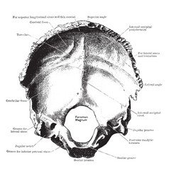 Inner surface of the occipital bone vintage vector