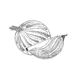 Hand drawn outline onion isolated on white vector