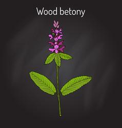 wood betony stachys officinalis medicinal plant vector image