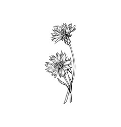 cornflower monochrome freehand sketch vector image