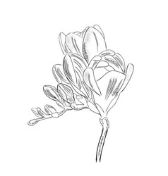 Hand drawn outline freesia flower isolated on vector