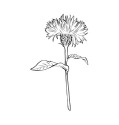 Milk thistle monochrome freehand sketch vector