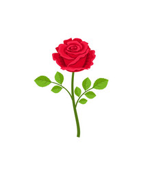 realistic red rose isolated on white background vector image