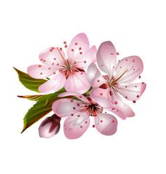 spring pink sakura blossoms vector image