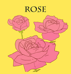 Three pink roses with yellow background vector