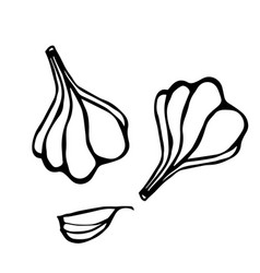 garlic and garlic clove herbs and spices sketch vector image