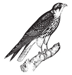 Hobby falcon vintage vector