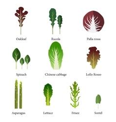 Set salad bowl leafy vegetables green salad vector