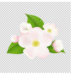 apple tree flowers with transparent background vector image