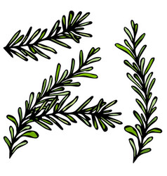 fresh rosemary sprigs with leaves food and spice vector image vector image