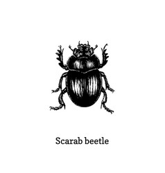 Scarab beetle drawn insect in vector