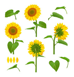 Sunflowers garden botanical yellow vector