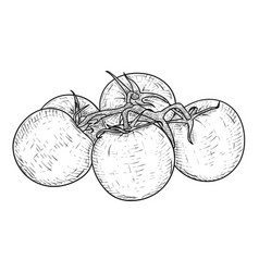 tomatoes hand drawn sketch vector image