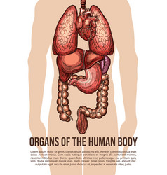 human organs body system sketch poster vector image