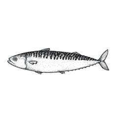 Mackerel fish hand drawn isolated icon vector