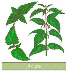 hand drawn colored of nettle vector image vector image