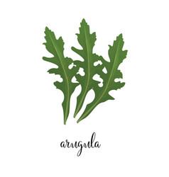 arugula green vector image