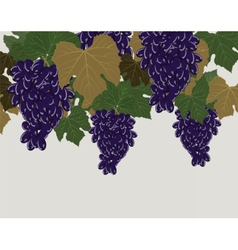 Red grapes clusters vector
