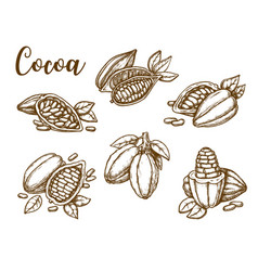 cocoa beans cacao pod plant sketch vector image