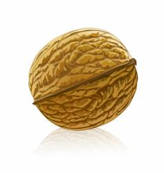 walnut fruit isolated vector image vector image