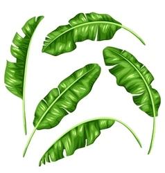 Banana leaves set Image of decorative tropical vector image