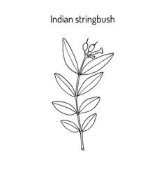 Indian stringbush wikstroemia indica medicinal vector