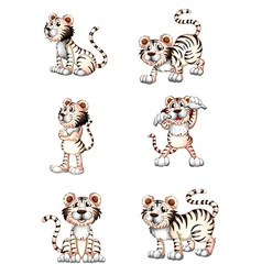 Tigers in six different positions vector image