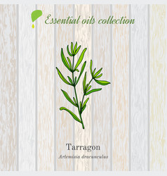 tarragon essential oil label aromatic plant vector image