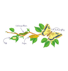 The metamorphosis of the butterfly life cycle vector